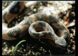Mithological Lachesis, or 'Sú-ú-ú' in ancient Tupy-Guarany Indian language, or 'the one who strikes repeatedly...'. Second largest venomous snake in the world, capable of standing 1 mt above the ground if thermaly disoriented, actively following or even chasing the heat source. Natives in my area call it 'Apaga-Fogo', or fire extinguisher, for its been said for generations that its not wise to be near fire while in the Atlantic rainforest at night.