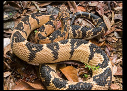 The Atlantic Bushmaster in Serra Grande, in ethical confinement. The animal is considered 'Vulnerable', by the International Union for  the Conservation of Nature, in Rio de Janeiro and Minas Gerais states it might be already extinct